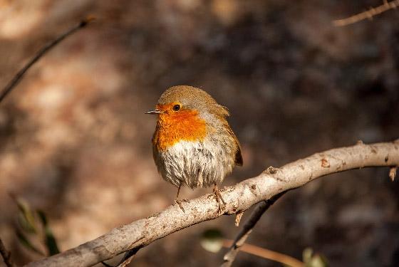 Aves del Parc Natural de la Muntanya de Montserrat.